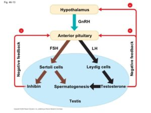 which-male-hormone-inhibits-the-secretion-of-fsh