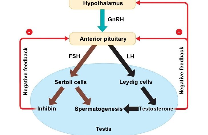 Which Male Hormone Inhibits the Secretion of FSH