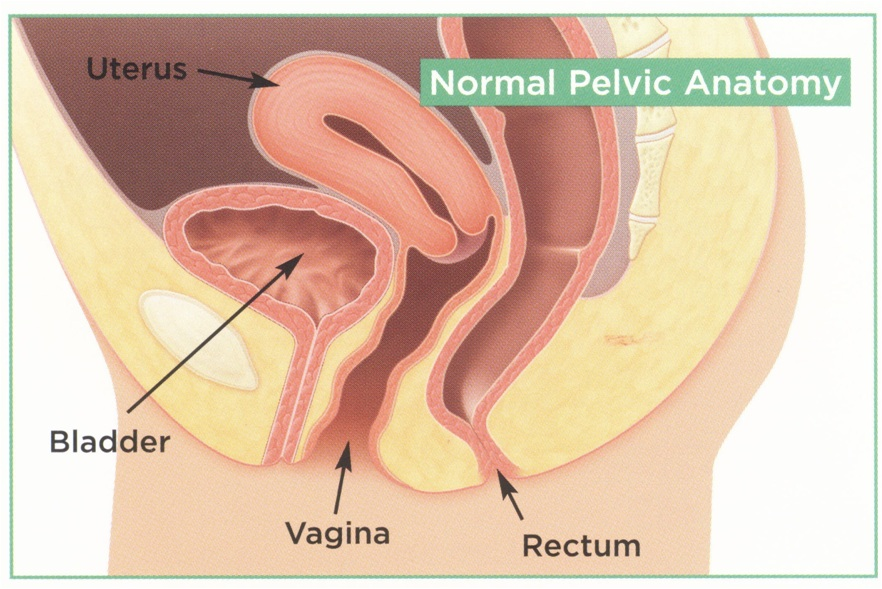 Urethra In Women Anatomy Physiology Pathology