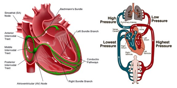 Cardiac Rhythm Disorders