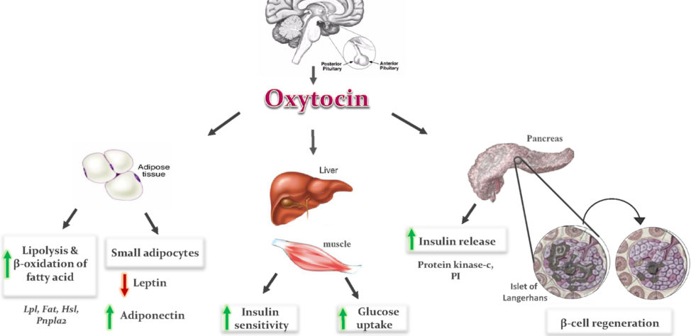 What Is The Role Of Oxytocin In Pregnancy