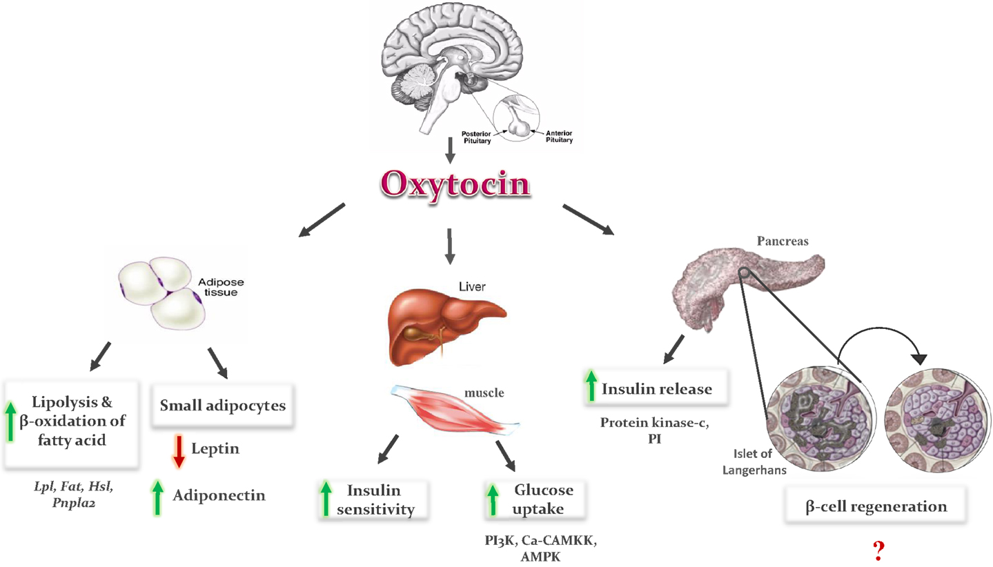 the role of oxytocin in human emotions Oxytocin oxytocin (oxt) is a hormone, neuropeptide oxytocin is normally produced by the paraventricular nucleus of the hypothalamus and released by the posterior pituitary.