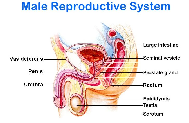What Are The Main Parts Of The Human Male Reproductive System